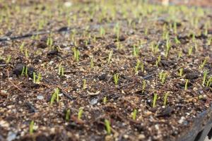 Onion seedlings breaking through the soil